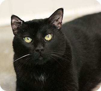 Domestic Shorthair Cat for adoption in Canoga Park, California - Thomas akaTomasina