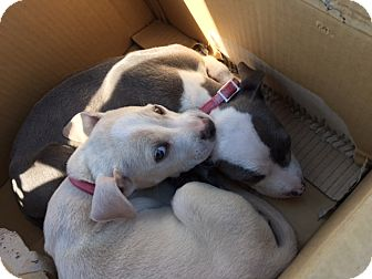 Pit Bull Terrier/American Pit Bull Terrier Mix Puppy for adoption in Sacramento, California - Pepper