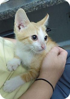 Domestic Shorthair Kitten for adoption in Henderson, North Carolina - Sunny