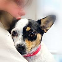 Adopt A Pet :: DeeDee - Huntsville, AL