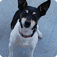 Rat Terrier Dog for adoption in Council Bluffs, Iowa - Rico (Jazzi)
