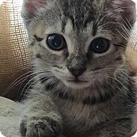 Adopt A Pet :: Audrey - Horsham, PA