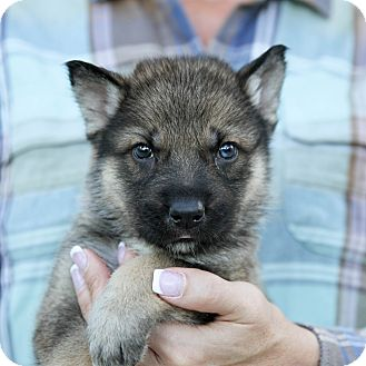 German Shepherd Dog/Husky Mix Puppy for adoption in Sacramento, California - Joan's Boys!