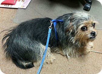 Yorkie, Yorkshire Terrier/Pekingese Mix Dog for adoption in Greeley, Colorado - Muffy