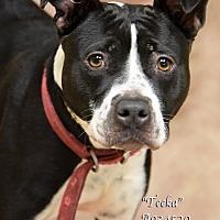 Adopt A Pet :: Teeka - Newnan City, GA