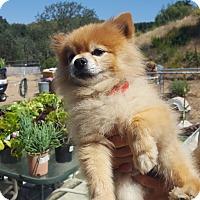 Adopt A Pet :: Kobe - Creston, CA
