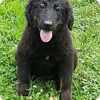 Adopt A Pet :: Kenedy - Niagra Falls, NY