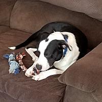 Adopt A Pet :: Bandit - Springtown, TX