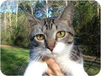 Domestic Shorthair Kitten for adoption in No.Charleston, South Carolina - Britt