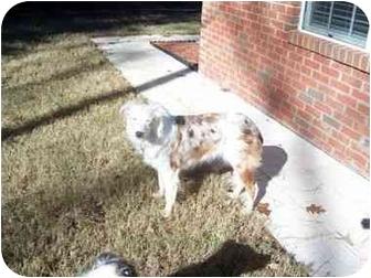 Australian Shepherd Dog for adoption in Pittsboro, North Carolina - Cami