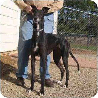 Greyhound Dog for adoption in Oak Ridge, North Carolina - Cookie