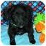 Photo 2 - Pomeranian/Dachshund Mix Puppy for adoption in Broomfield, Colorado - Tramp