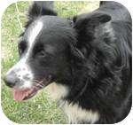 Border Collie/Australian Shepherd Mix Dog for adoption in Plainfield, Illinois - Merryl