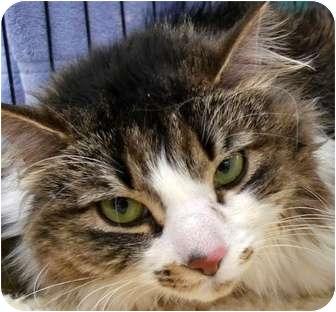 Domestic Mediumhair Cat for adoption in Troy, Michigan - Precious