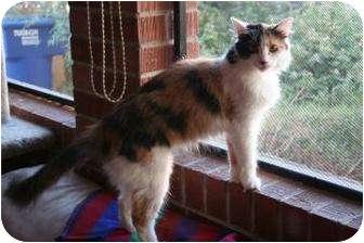 Domestic Shorthair Cat for adoption in Tucson, Arizona - Tallie