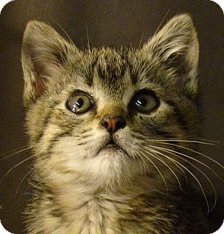 Domestic Shorthair Kitten for adoption in El Cajon, California - Peaches
