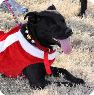 Labrador Retriever/American Staffordshire Terrier Mix Dog for adoption in Olive Branch, Mississippi - Mochie-a Home 4 the Holidays!
