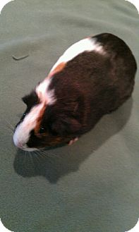 Guinea Pig for adoption in Canton, Ohio - Trixy & Mocha