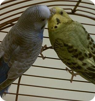 Parakeet - Other for adoption in Middle Island, New York - Leyla & Kiki