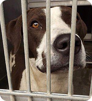 Pit Bull Terrier Mix Dog for adoption in San Diego, California - Steffi URGENT