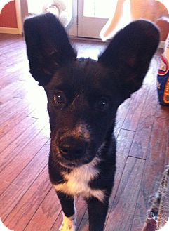 Border Collie Mix Puppy for adoption in Hancock, Michigan - Tyra!