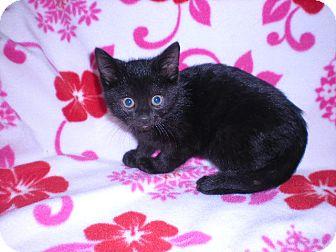 "Domestic Mediumhair Kitten for adoption in New Castle, Pennsylvania - "" Olive """