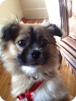 Tibetan Spaniel Puppy for adoption in SO CALIF, California - Yogi Bear!