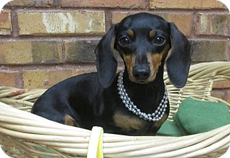 Dachshund Dog for adoption in Benbrook, Texas - Madeline