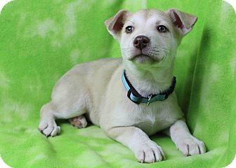 Husky/Pharaoh Hound Mix Puppy for adoption in Westminster, Colorado - Matt Kenseth