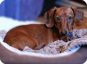 Dachshund/Terrier (Unknown Type, Small) Mix Dog for adoption in Edmonton, Alberta - Winston