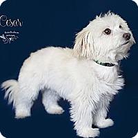 Adopt A Pet :: Little Caesar - Rancho Mirage, CA