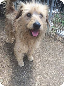 Airedale Terrier Mix Dog for adoption in Ashville, Ohio - Shaggy