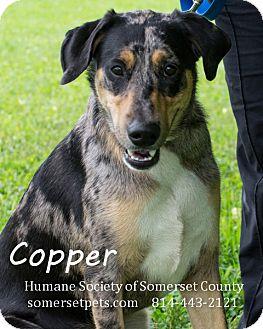 Australian Cattle Dog Mix Dog for adoption in Somerset, Pennsylvania - Copper