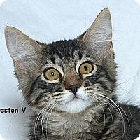 Adopt A Pet :: Preston V - Sacramento, CA