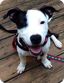 Jack Russell Terrier/Dachshund Mix Puppy for adoption in Bedford, Virginia - Squeek