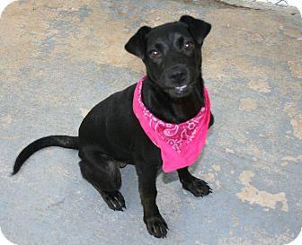 Labrador Retriever Mix Dog for adoption in San Antonio, Texas - Sassy