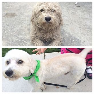 Poodle (Miniature) Mix Dog for adoption in Los Angeles, California - JINGLE BELLS