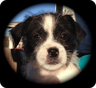 Shih Tzu Mix Puppy for adoption in Schertz, Texas - Sidney VG