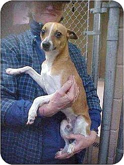 Toy Fox Terrier Dog for adoption in Williston Park, New York - Jacques