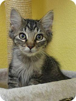 Domestic Mediumhair Kitten for adoption in Benbrook, Texas - Jeff