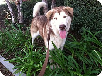 Alaskan Malamute Dog for adoption in Westminster, California - Banjo