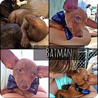 Adopt A Pet :: Batman - West Richland, WA