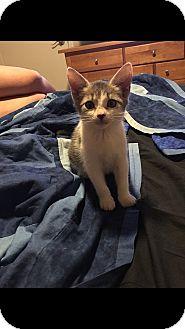 Domestic Shorthair Kitten for adoption in Tampa, Florida - Snowflake