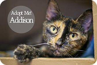 Domestic Shorthair Cat for adoption in West Des Moines, Iowa - Addison