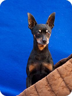 Miniature Pinscher Mix Dog for adoption in Coronado, California - Marley