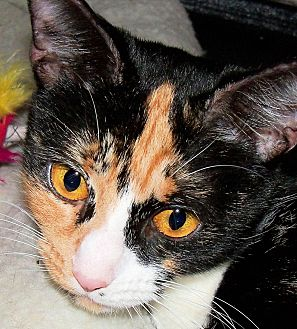 Domestic Shorthair Cat for adoption in Morganton, North Carolina - Sabrina