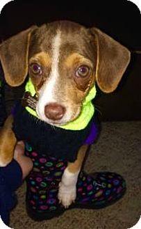 Feist/Chihuahua Mix Puppy for adoption in Marlton, New Jersey - Augie
