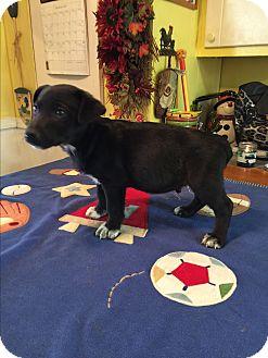Miniature Pinscher/Labrador Retriever Mix Puppy for adoption in Cranford, New Jersey - Colton