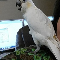 Cockatoo for adoption in Hurricane, Utah - BABY