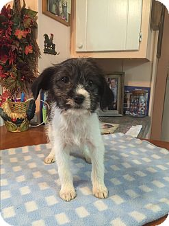 Jack Russell Terrier/Rat Terrier Mix Puppy for adoption in Glastonbury, Connecticut - Nina